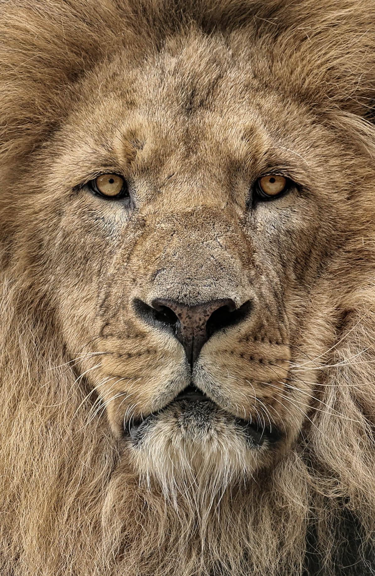 Картинки львов красивые, открытки